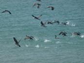 cormorans-jpg