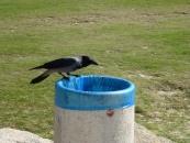 crow-on-a-waste-basket-jpg