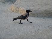 crow-jpg