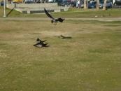 crows-meeting-jpg
