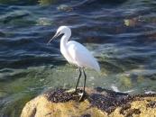 egret-jpg