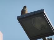 falcon-on-street-light-jpg