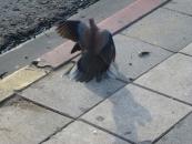 fighting-wild-doves-jpg