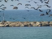 flying-cormorans-jpg
