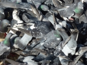 pigeons-jpg