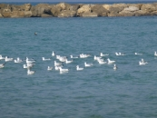 sea-gulls-and-one-cormoran-jpg