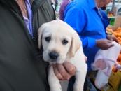 white-puppy-jpg