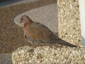 wild-dove-camouflaged-jpg