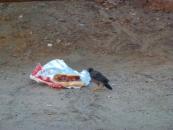 garbage-scavanger